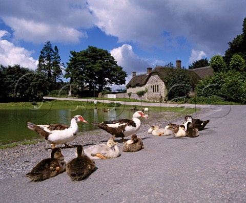 Muscovy ducks and ducklings by the pond in village of Ashmore on Cranborne Chase Dorset England