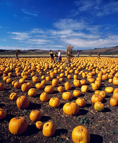 Pumpkins for sale at Half Moon Bay south of San Francisco on coastal highway Route 1 California USA