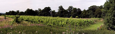 Madeleine Angevine vines at Leventhorpe Vineyard   Woodlesford within the city boundaries of Leeds    Yorkshire England