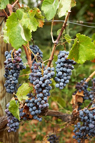 Bunches of Xinomavro grapes the noblest red grape variety of northern Greece Macedonia Greece Amyndeon