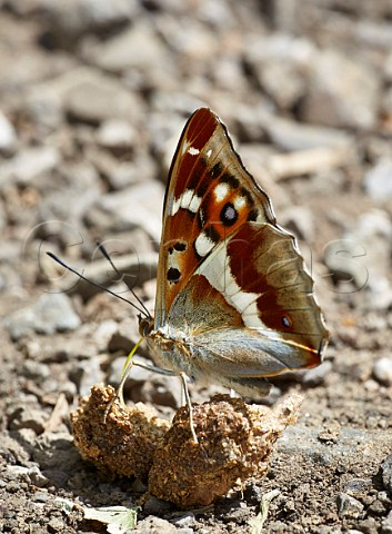 Purple Emperor taking minerals from dog poo Bookham Common Surrey England